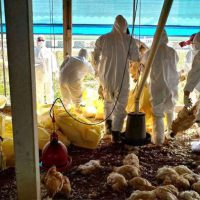 gripe-aviaria-coronavirus